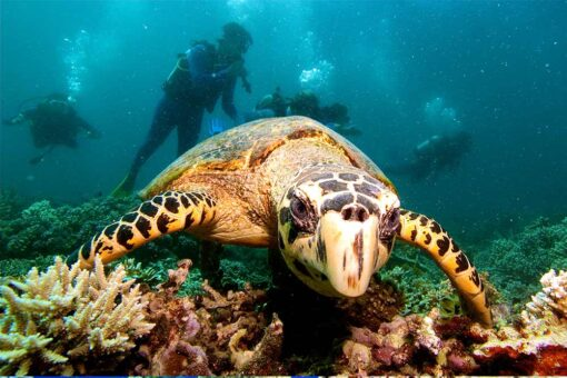 agincourt reef diving turtles