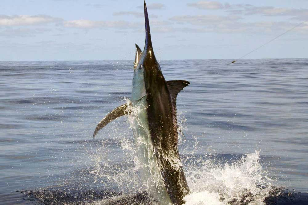 black marlin fishing charter port douglas reef charters