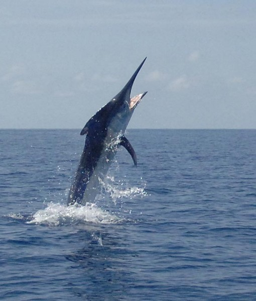 luxury game fishing boat marlin