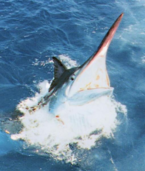 fishing charter marlin