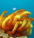 opal reef diving feather star