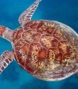 opal reef diving turtle