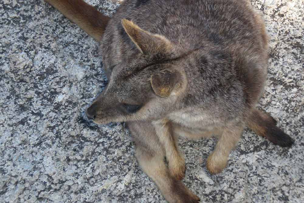 Cute rock wallabies