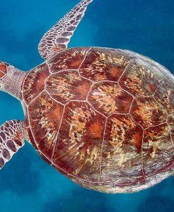 Port Douglas snorkeling turtle