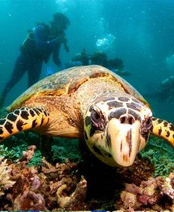 agincourt reef diving turtles