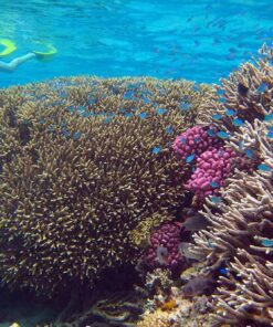 Agincourt reef snorkeling coral