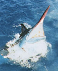 fishing charter marlin