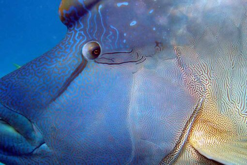 opal reef diving maori wrasse