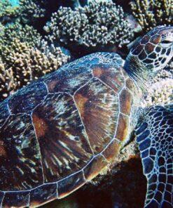 Port Douglas resting turtle